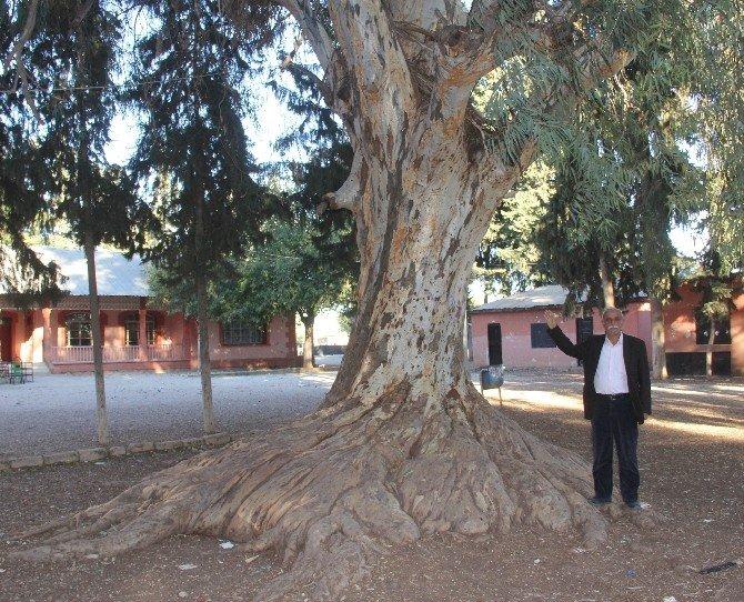 Okul Bahçesinde Asırlık Dev Ağaç
