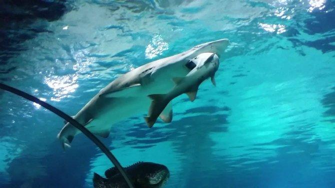 Pamuk balığı, camgözü böyle yuttu