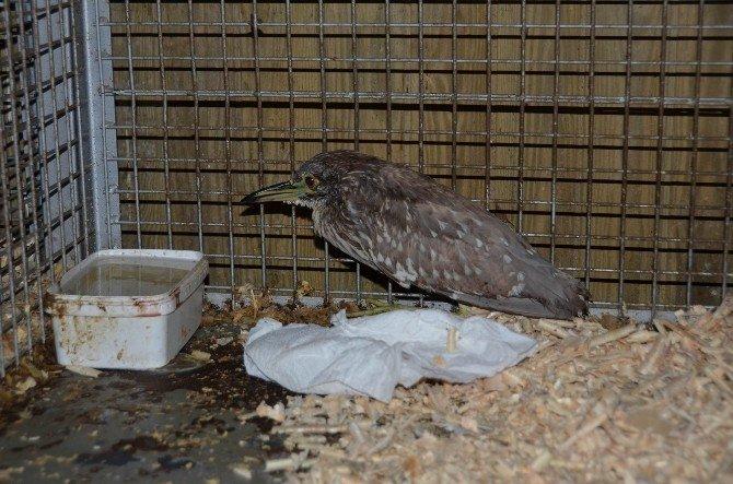 Yiyecek Bulamayan Balıkçıl Kuşa Ekipler Sahip Çıktı
