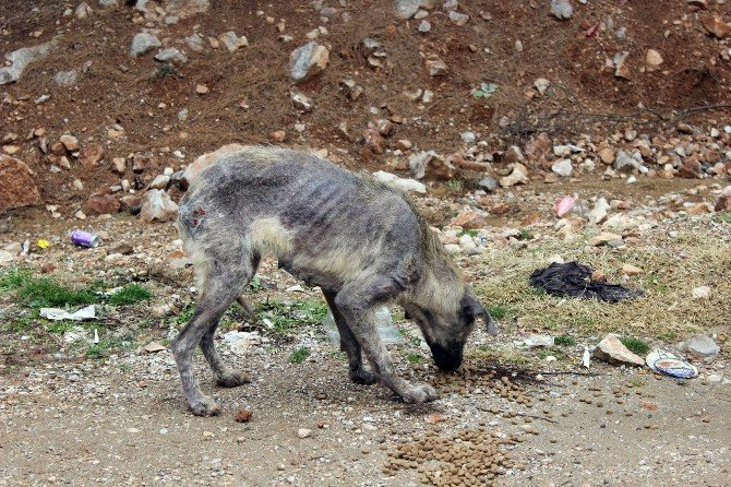 Bursa'da 'Uyuz Köpek' Paniği