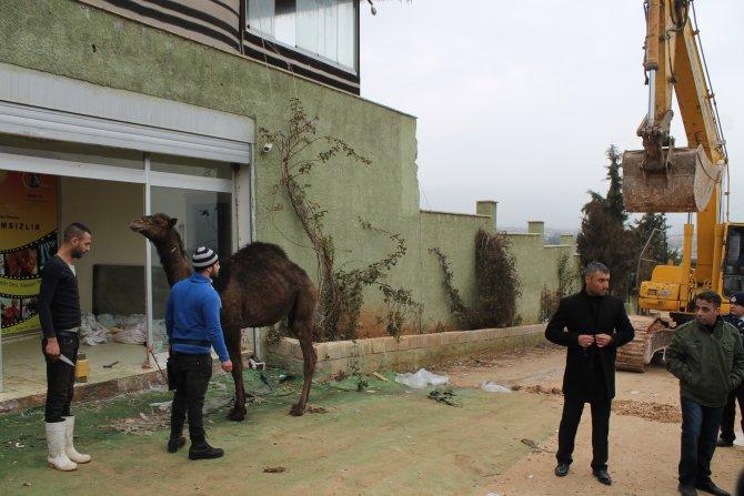 Belediye TV stüdyosunu yıktı, sahibi tepki için deve kesti