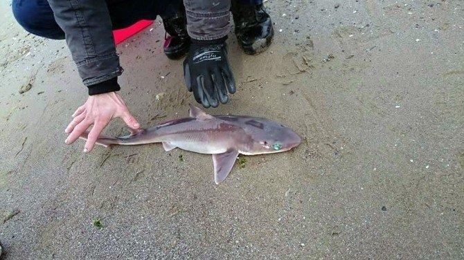 Oltaya Köpek Balığı Takıldı