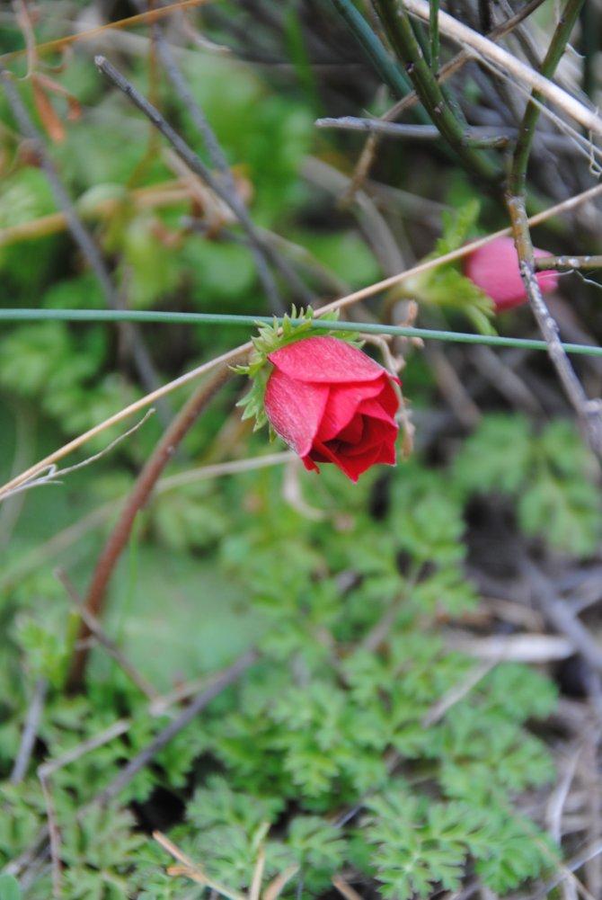Baharın müjdecisi badem ağaçları Side'de çiçek açtı
