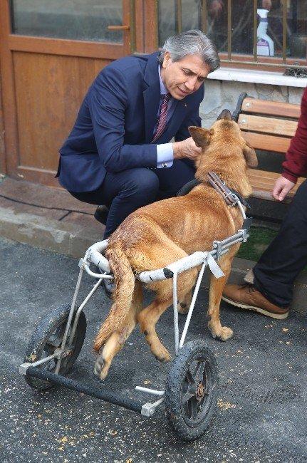 Hayvan Barınağının Maskotu Çiço Artık Yürüyor
