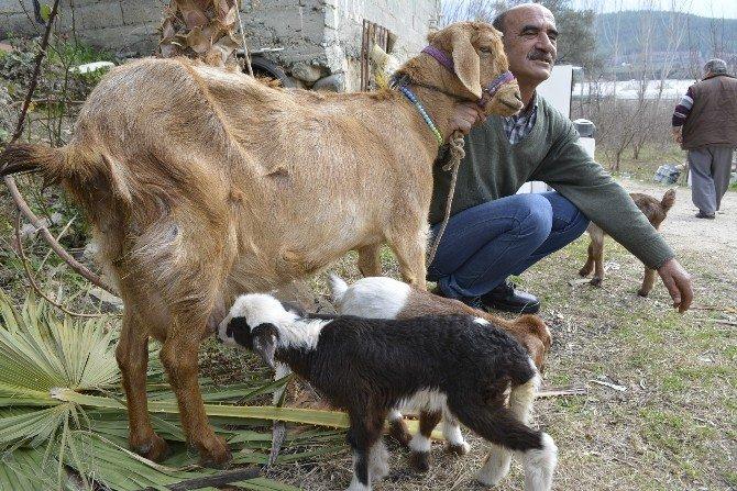 Keçi Kuzu Doğurdu