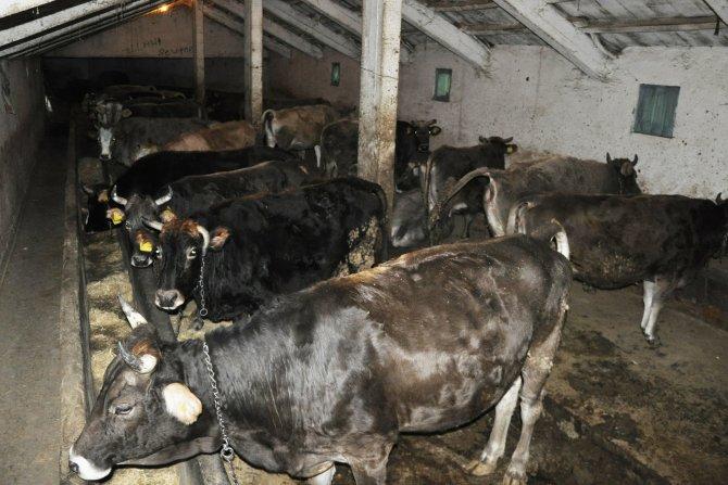 Şap hastalığı kırmızı et üreticilerine pahalıya mal oldu