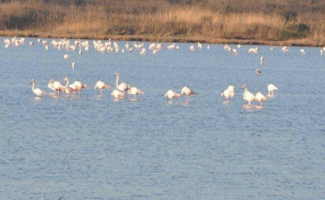 Flamingolar Hersek Gölü'nde