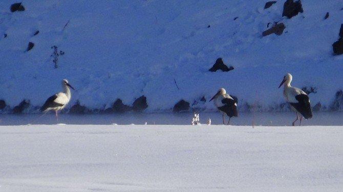 Üç Leylek Eksi 25 Derece Soğukta Kars'ta Kaldı