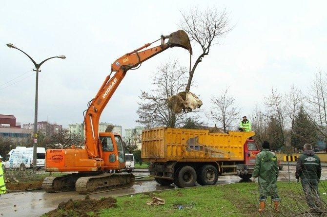 Ağaçlar Özel Araçlarla Taşınıyor