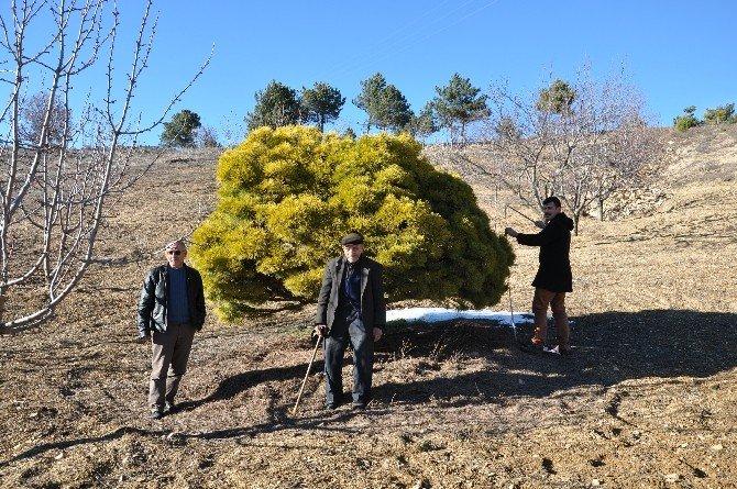 Simav'daki Asırlık Cüce Çam Ağacı Kestel Köyünün Sembolü Oldu