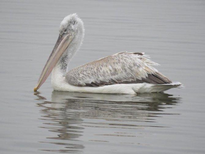 Bursa'da kış ortası su kuşlarının sayımı yapıldı