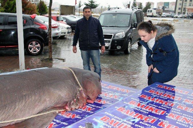 Köpek Balığı Kanser Hastalarına Şifa Olacak