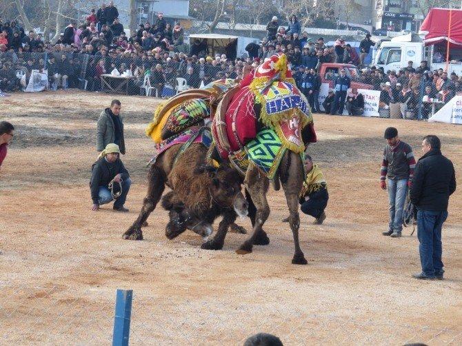 Biga'da Deve Güreşleri Yapıldı