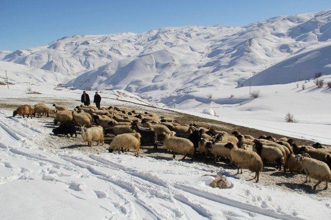 Zorlu Kış Şartlarında Koyunlara Bakıyorlar
