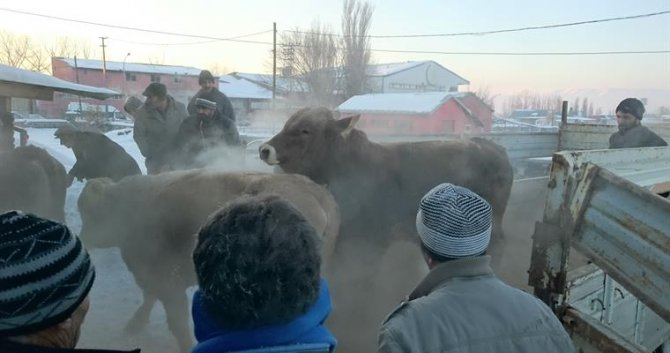 Erzurumlu besicilere boğa ve koç dağıtıldı