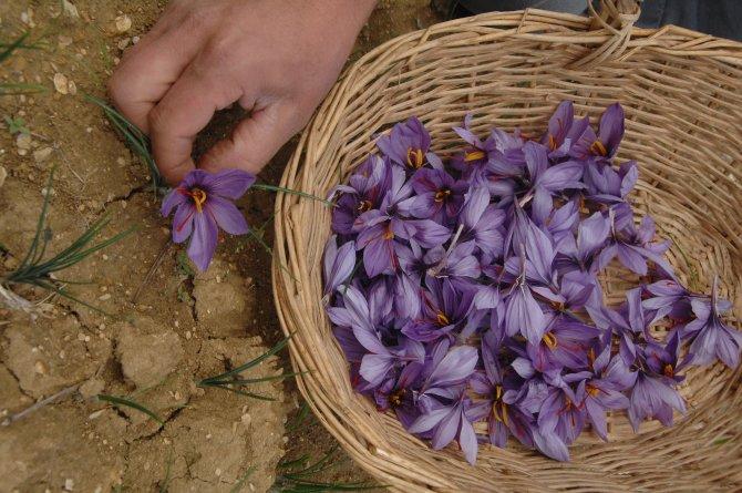 14 köyde 43 üreticiden 20 kilo safran elde edildi
