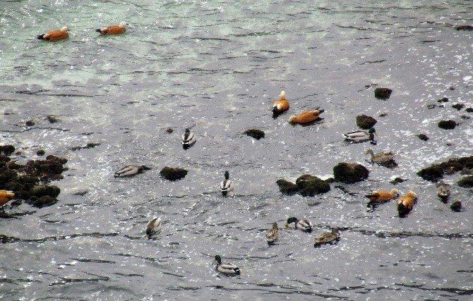 Elazığ'da 58 Binden Fazla Su Kuşu Tespit Edildi