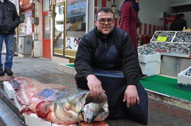 Oltaya dev yayın balığı takıldı