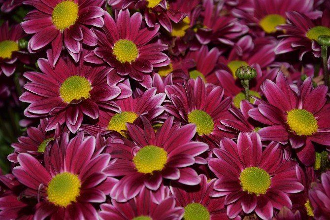 Giresun'da Çiçekçilerde Sevgililer Günü Hazırlıkları Başladı