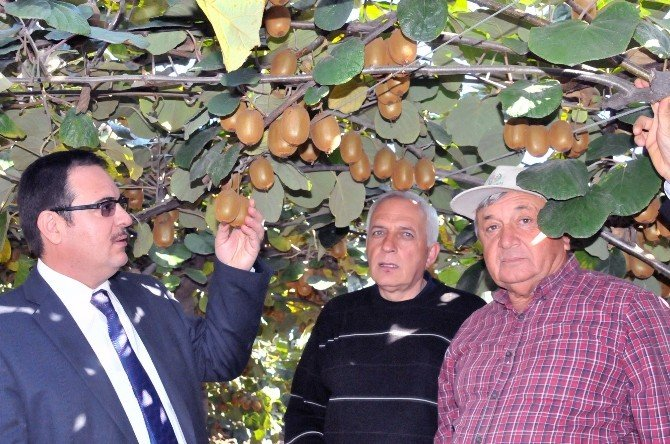 Kivi Üreticileri Yalov'da Arazi Bulamıyor