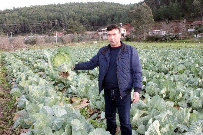 Antalya'dan Fransa'ya Lahana İhracatı