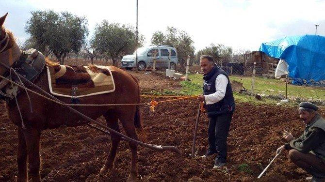 Kilis'te Bazı Çiftçiler Halen Saban Ve AT İle Tarla Sürüyorlar