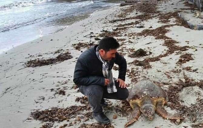 Kuşadası'nda Caretta Caretta Sahile Vurdu