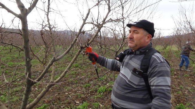 Çerkeşli Genç Çiftçiler İmece Usulu Şeftali Ağaçlarında Budama Yaptılar