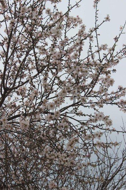 Aydın'da Baharın Müjdecisi Bademler Çiçek Açtı