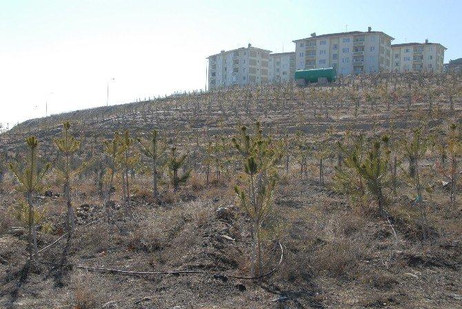 Çorum Belediyesi Akkent'i Ağaçlandırıyor