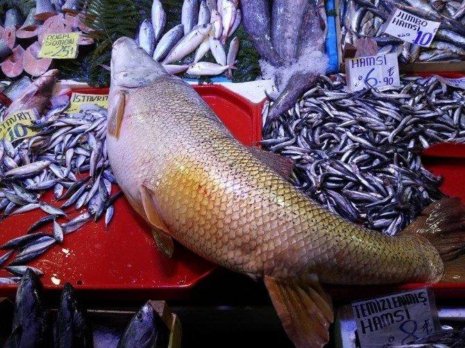 Dev Kurşun Balığı İçin Vatandaşlar Sıraya Girdi