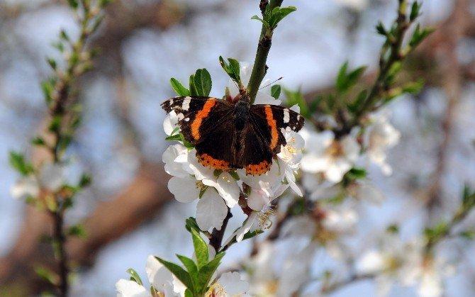 Mersin'de Bademler Çiçek Açtı
