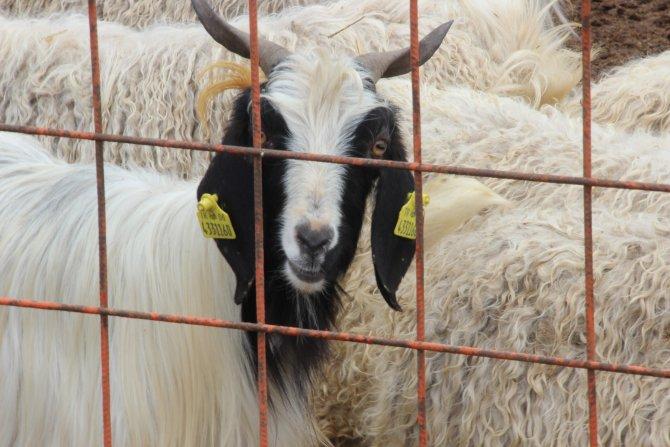 Çankırı hayvan pazarı açıldı