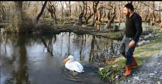 Tedavi Edilen Yaralı Pelikan Göle Bırakıldı