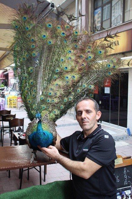 Tavus Kuşunu Nereye Gitse Yanında Gezdiriyor