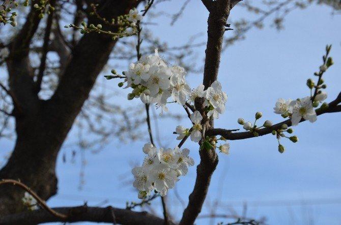 Meyveler Kış Ortasında Çiçek Açtı
