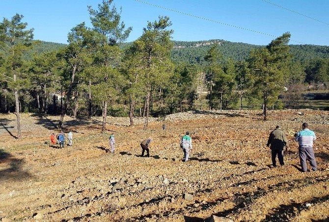 Marmaris'te Sakız Ormanı Kuruldu