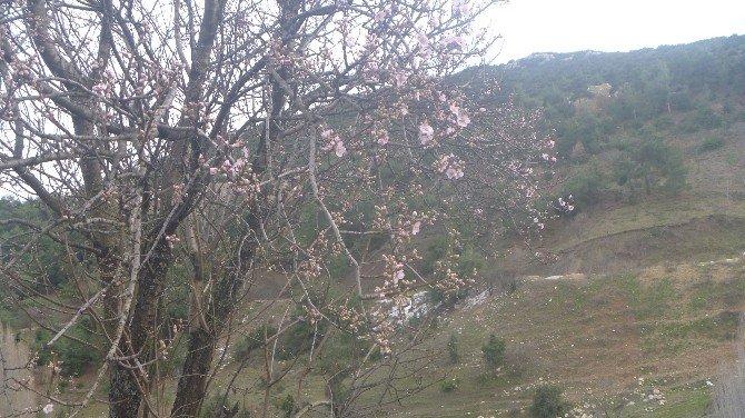 Yalancı Bahara Aldanan Badem Ağaçları Çiçek Açtı