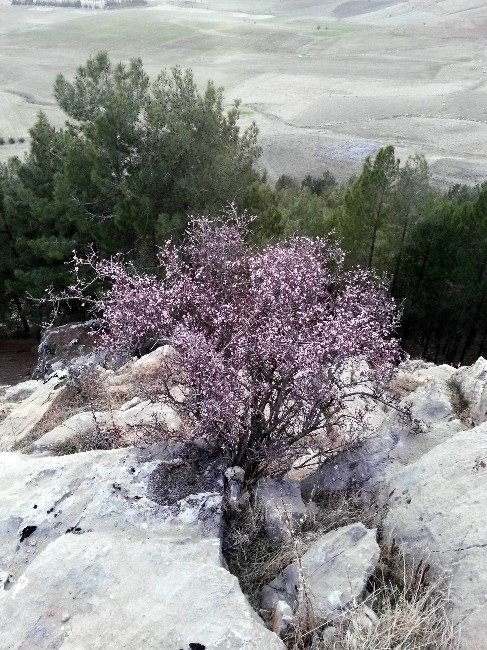 Bademler Çiçek Açtı