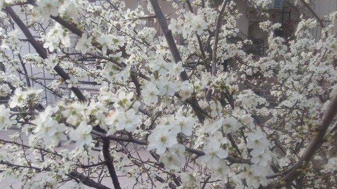 Güneşe Aldanan Erikler Çiçek Açtı