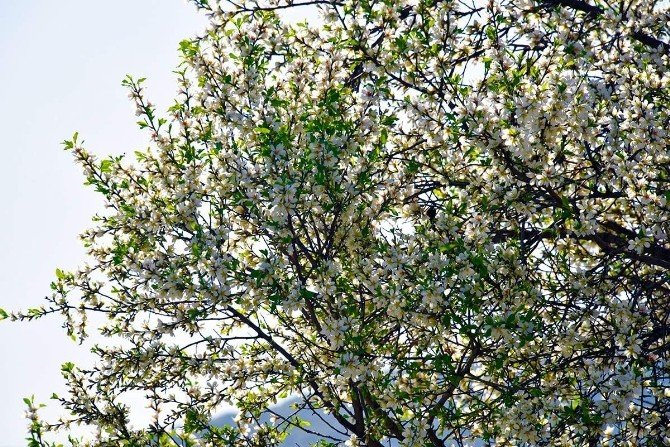 İzmir'de Yalancı Bahara Aldanan Ağaçlar Çiçek Açtı