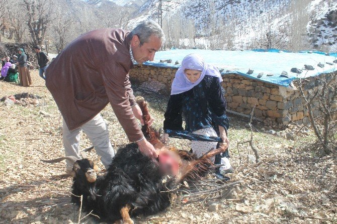 Kurt Sürüsü Köye İndi, 35 Keçi Telef Oldu