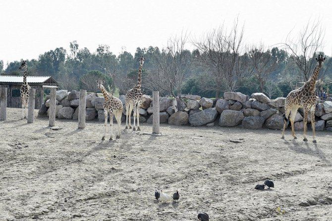 İzmir Doğal Yaşam Parkı'nın 'altın kızları' zürafalar dört tane oldu