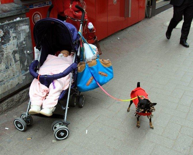 Minyatür Doberman, Giydiği Elbise İle İlgi Odağı Oldu