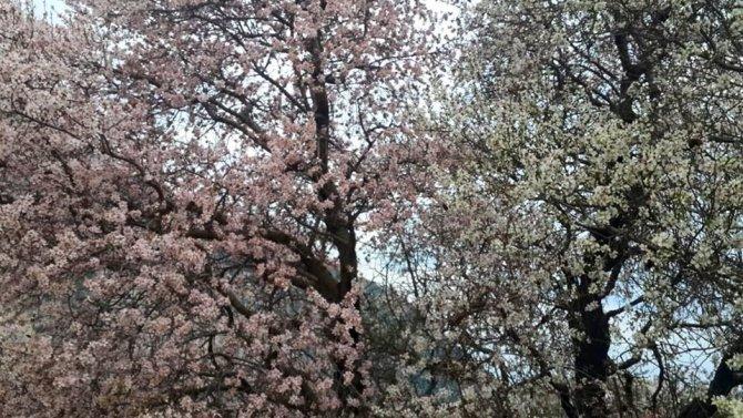 Badem ağaçları erken çiçek açtı