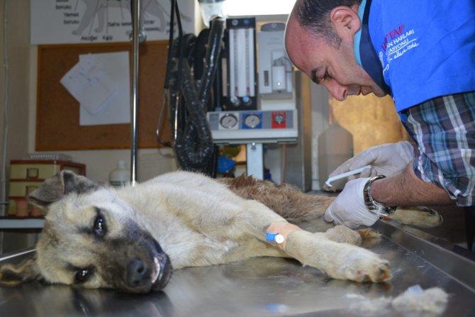 Iğdır'da kazada yaralanan köpek Tatvan'da tedavi altına alındı