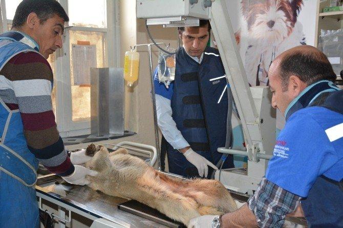 Kazada Yaralanan Köpek Tatvan'da Yoğun Bakıma Alındı