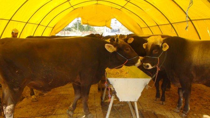 Çerkeş'te 4 aydır kapalı olan hayvan pazarı açıldı