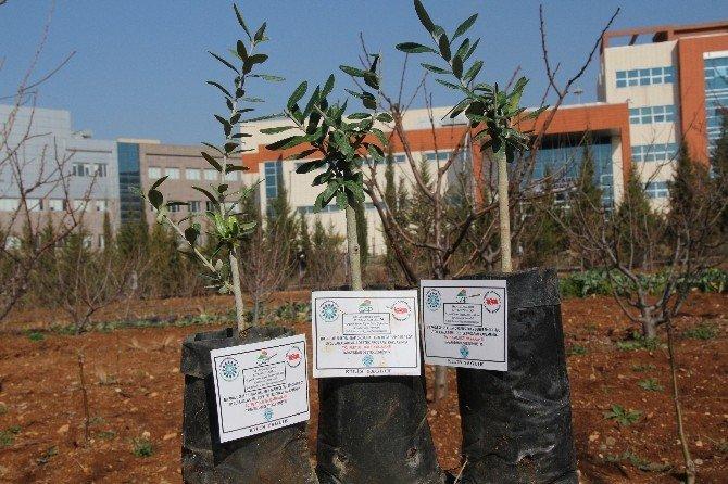 Üniversitede Yağlık Zeytin Fidanları Üretiliyor
