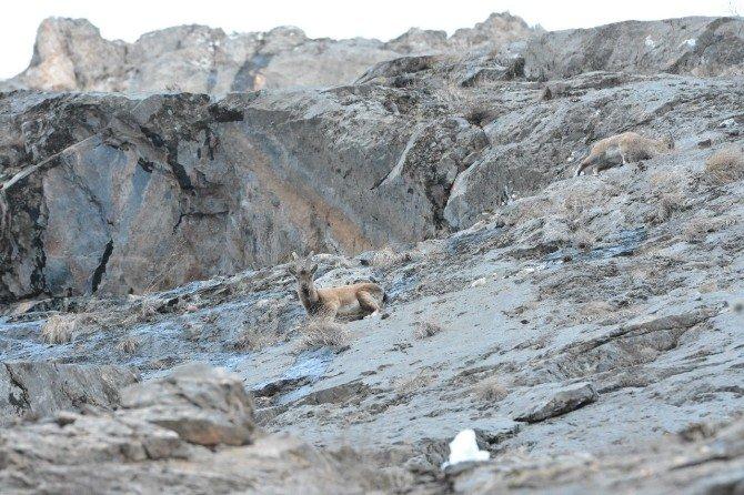 Tunceli'de Dağ Keçileri Yiyecek Ararken Görüntülendi